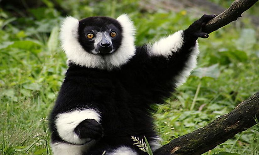 A black-and-white ruffed lemur.
