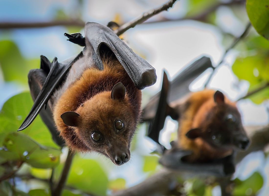 Fruit bats are named for their tendency to eat fruit.