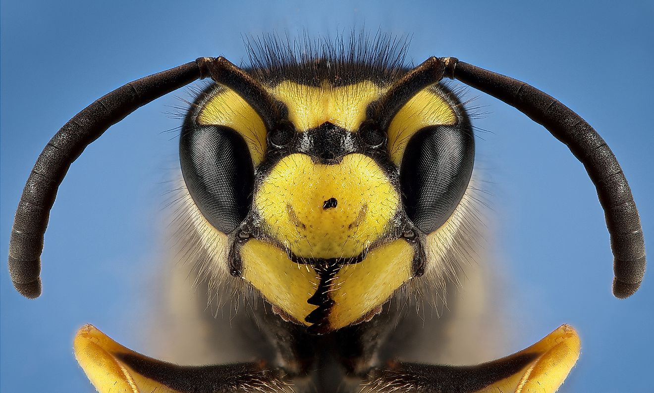 Detailed macro photography of insect German wasp. Image credit: Monika Bodova/Shutterstock.com