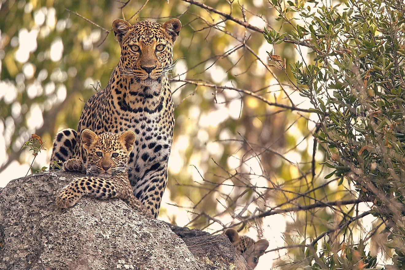 A female leopard with her cub.