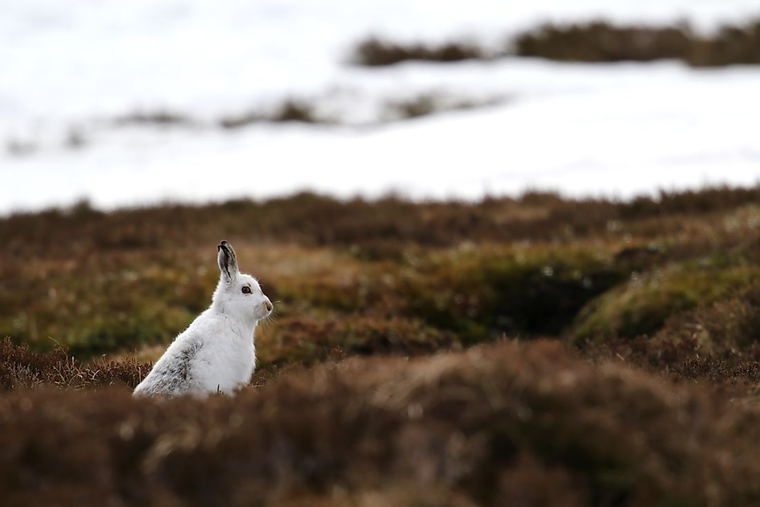 The mountain hare, the national mammal of the country of the Ireland.