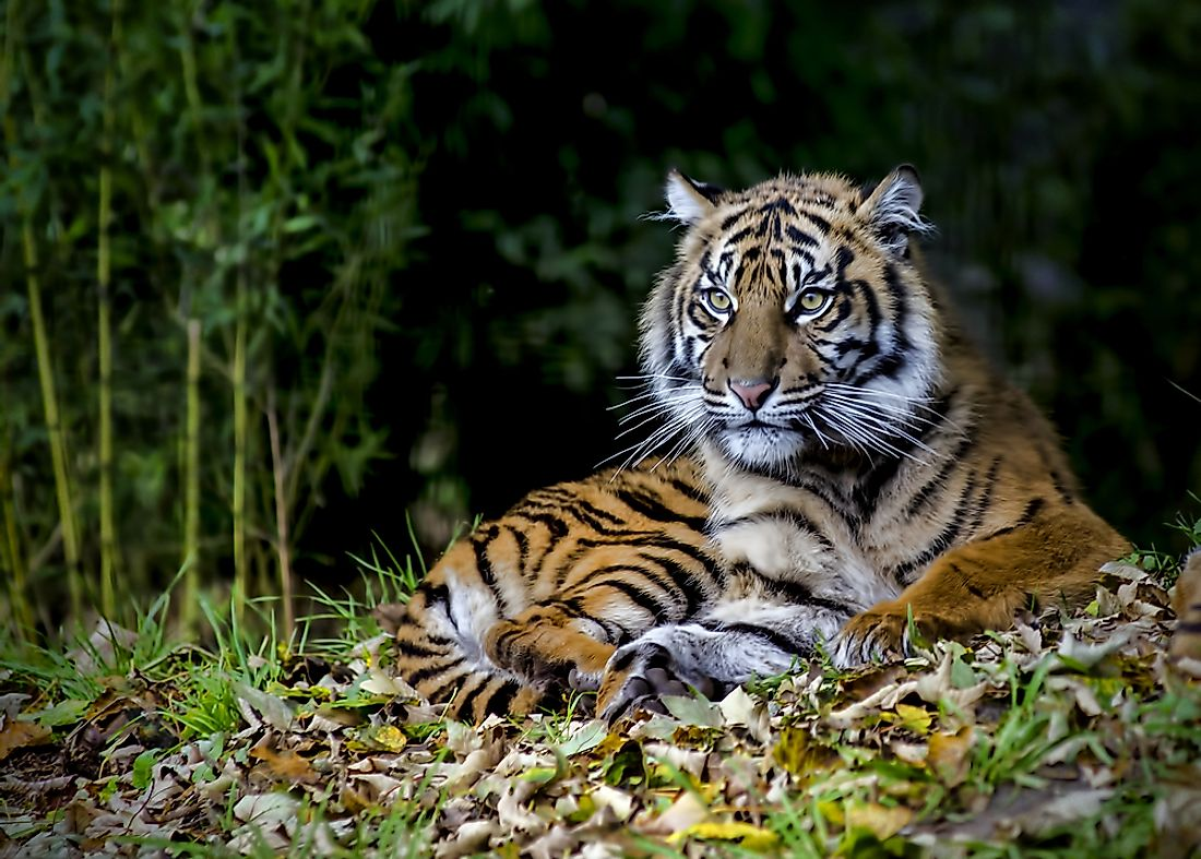 The Sumatran tiger is an example of an endangered wildcat.