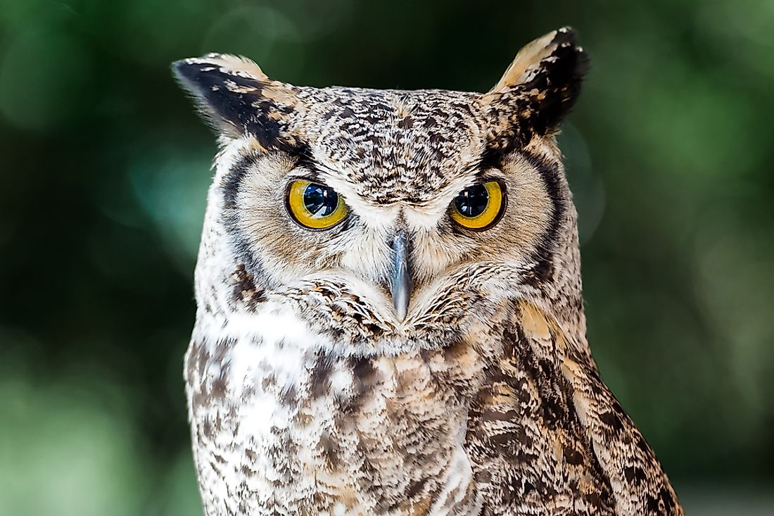 With its confident, piercing look, the Great Horned Owl was a symbol of strength to the Native Americans, and is a natural embodiment of wisdom even still today.