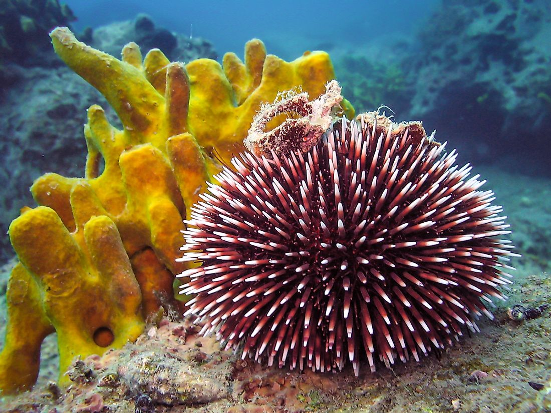 Sea urchins come in many colors.