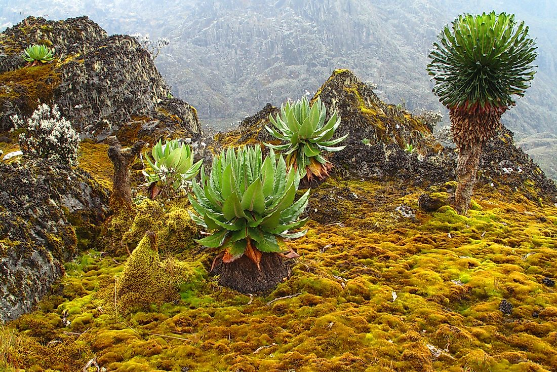 The Rwenzori mountains are popular for their unique species of flora and fauna.