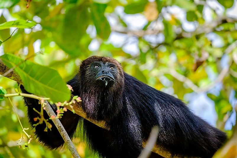 A Guatemalan Black Howler Monkey high in the forest.