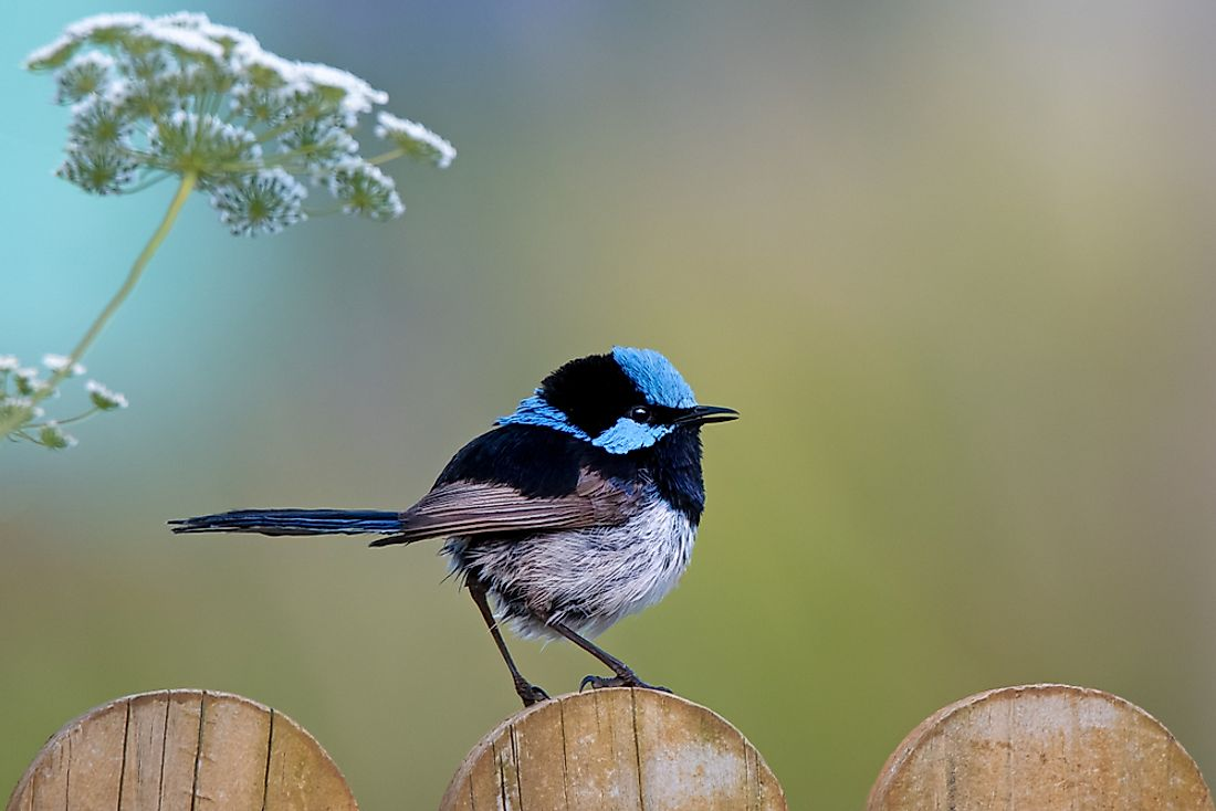 Beautiful small blue Superb Fairy-wren sitting on a wooden fence.