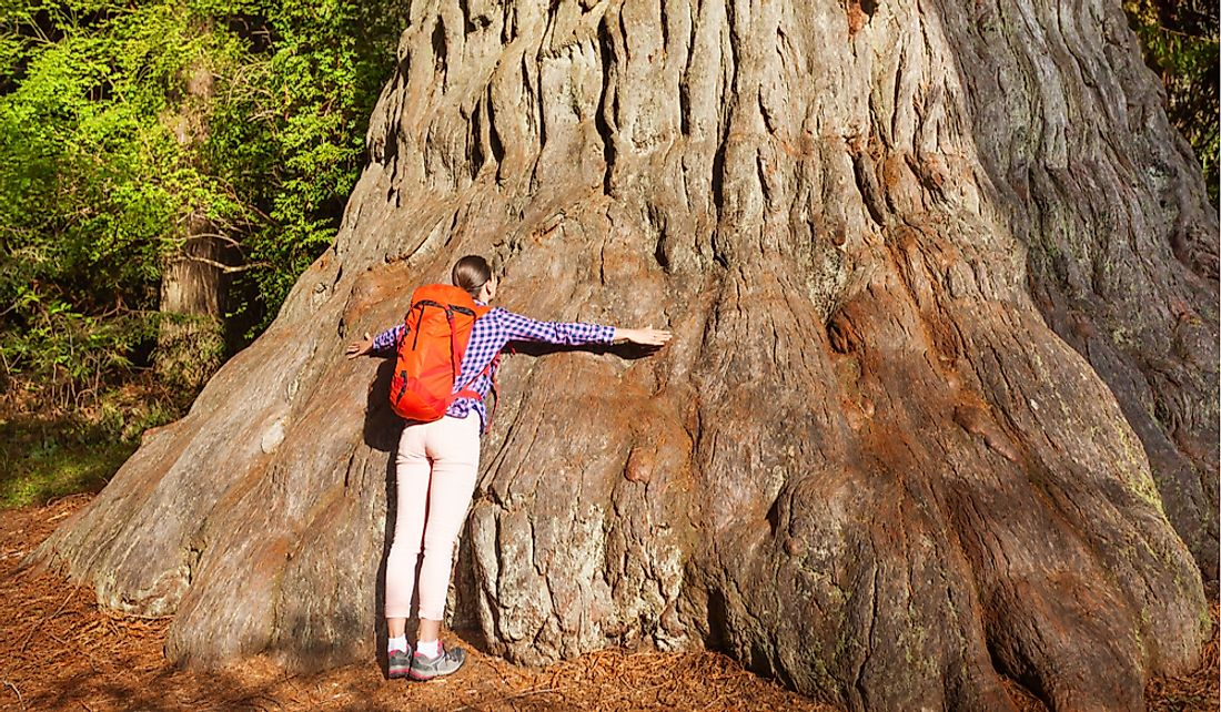 Women hugs the base of a giant redwood tree in California.