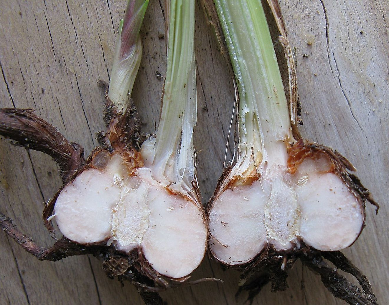 New corm growing from bud, tunic and leaves of Crocosmia. Image credit: JonRichfield/Wikimedia.org