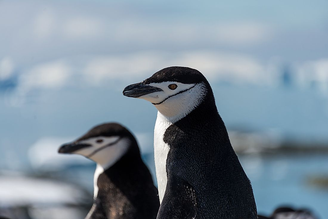Chinstrap penguins.