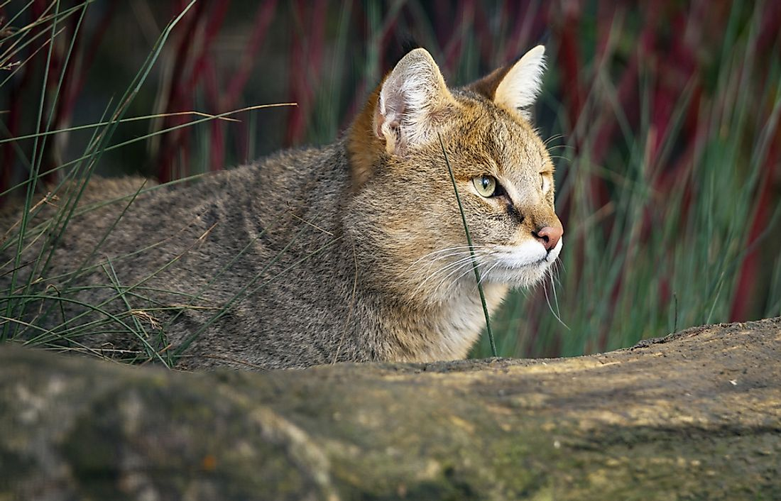 A jungle cat, an example of the Felis chaus species.