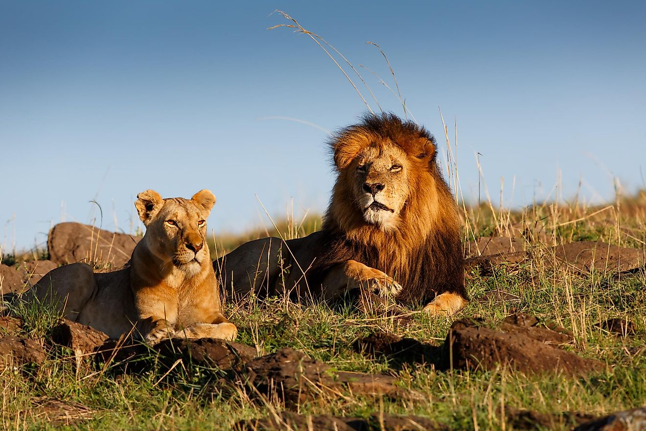 An African lion and lioness.