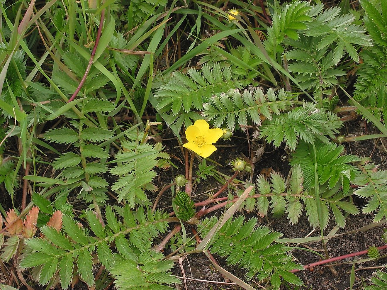 Common Silverweed (Argentina anserina) picture showing red stolons. Image credit: Rasbak/Wikimedia.org