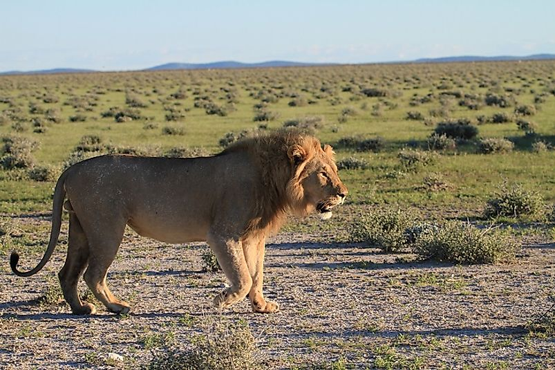 A male lion walks upon the veld grasslands in Namibia's Etosha National Park.