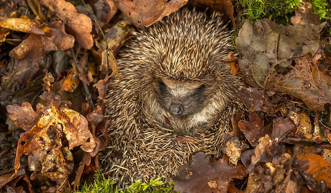 Hedgehogs hibernate in sheltered areas such as heaps of bushwood.