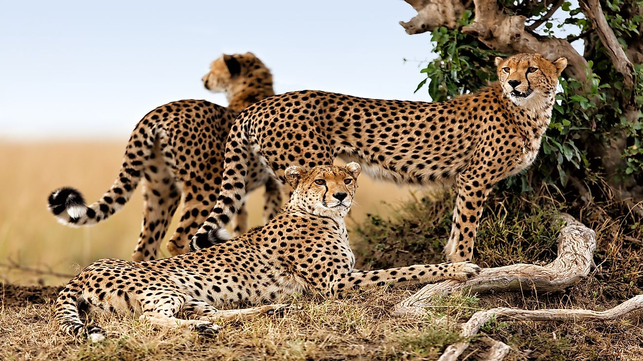 African Cheetah mother and two older cubs.