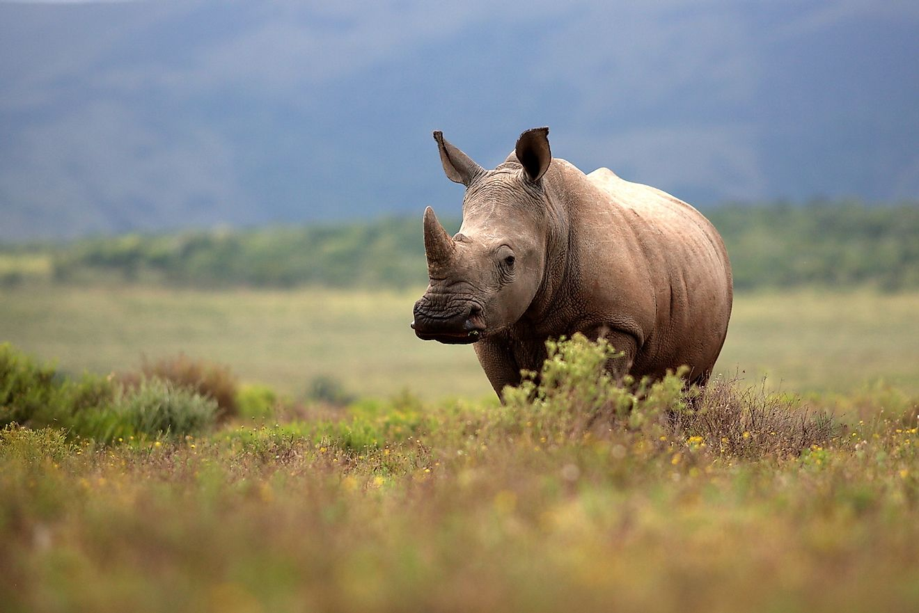 A white rhino grazing in an open field in South Africa. Image credit: JONATHAN PLEDGER/Shutterstock.com