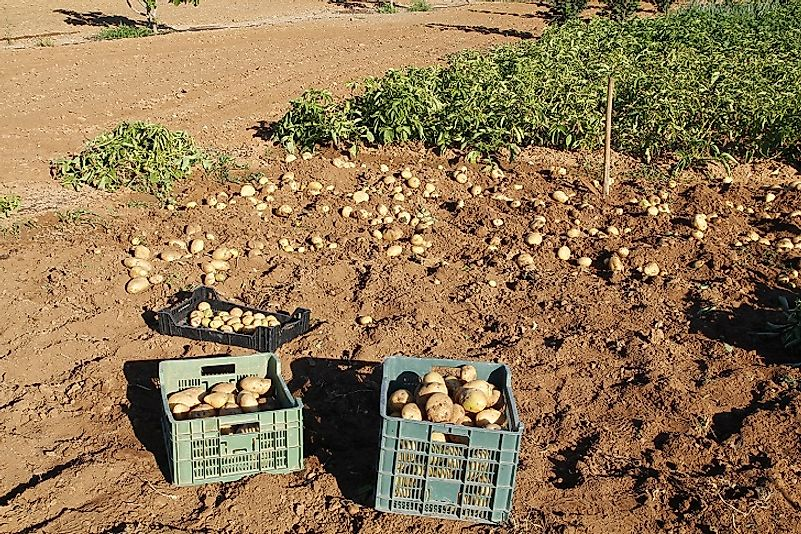 Freshly harvested potatoes, dug by hand on a small farm. Commercial operations usually plow up and collect potatoes from the earth with large tractors.