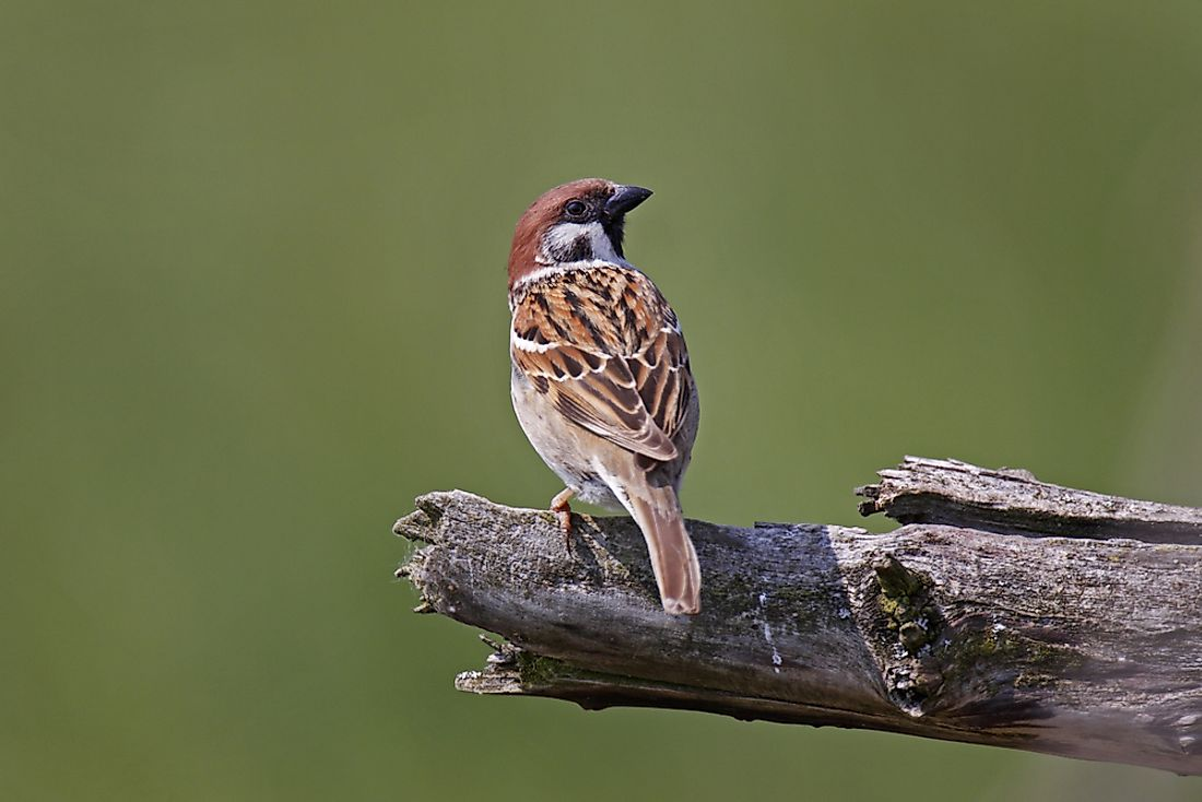 The Eurasian tree sparrow was a pest targeted throughout the Four Pests Campaign.
