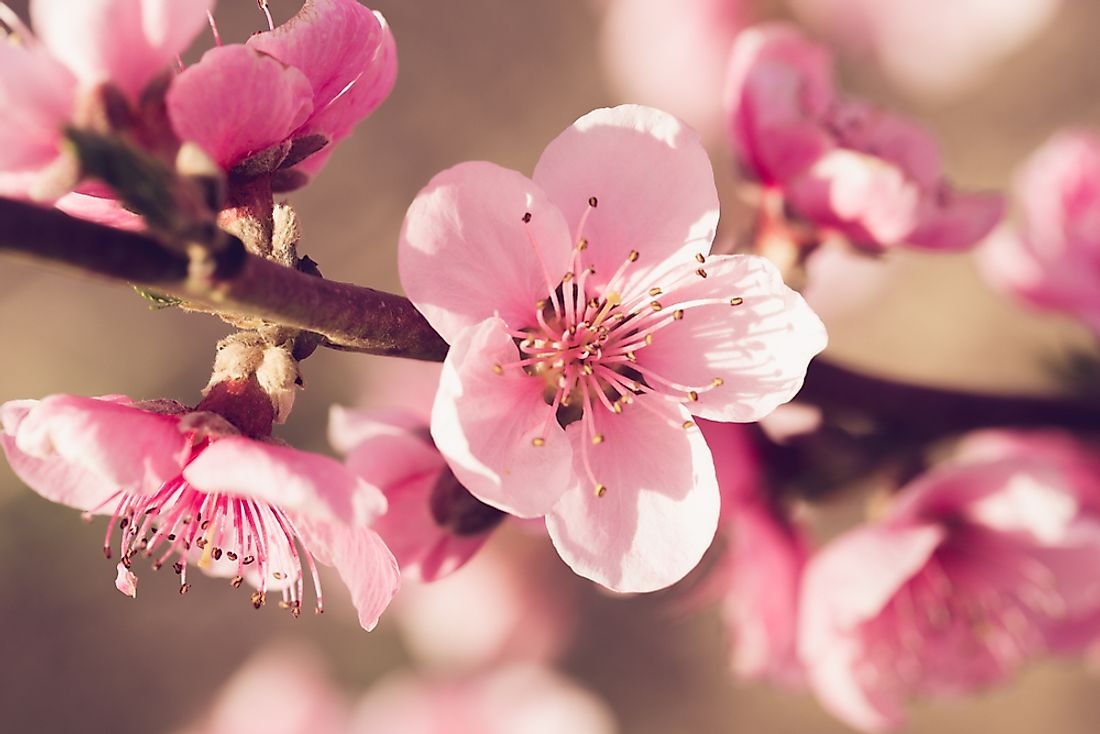 The peach blossom is the state flower of Delaware.