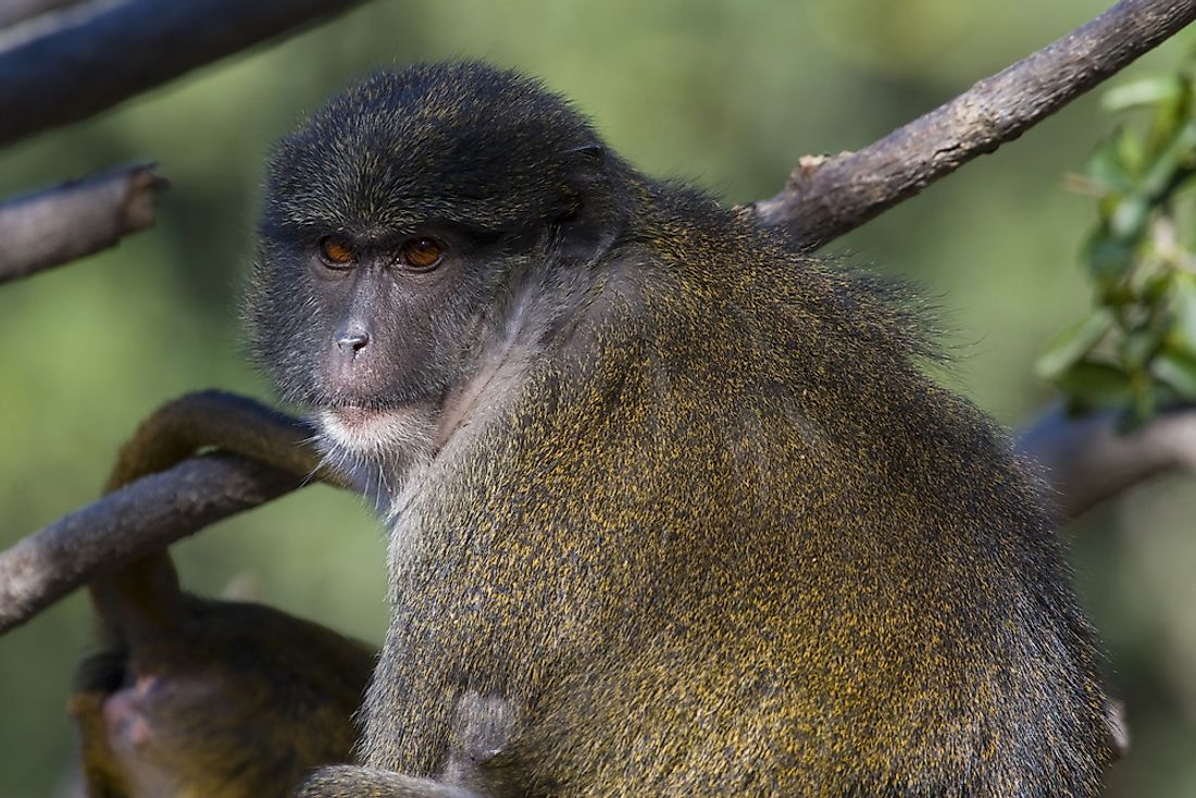 Allen's swamp monkeys are mainly arboreal, spending most their time in the trees.