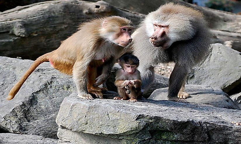 A heartwarming picture of a baboon family.