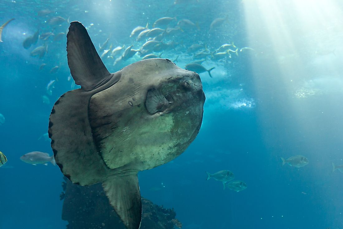 An ocean sunfish in an aquarium.