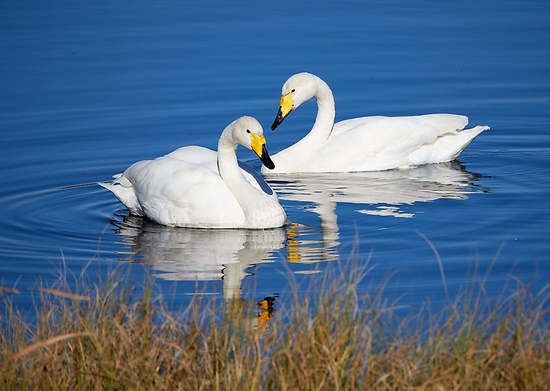 The whooper swan is the national bird of Finland.