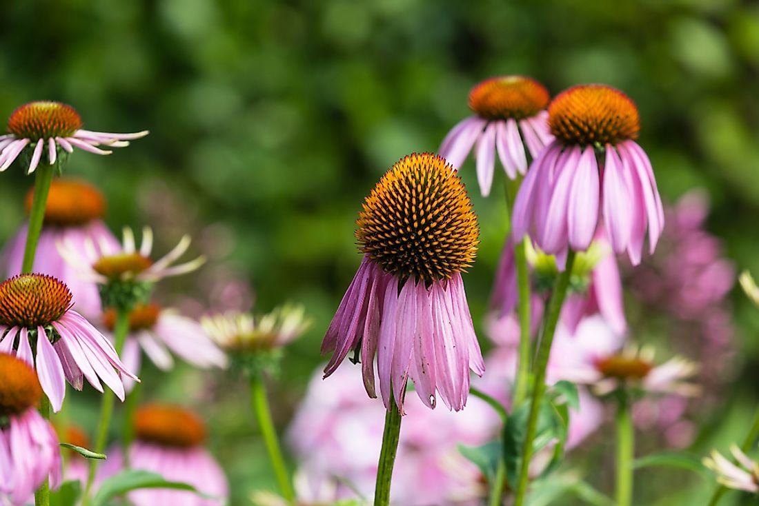 The Tennessee coneflower.