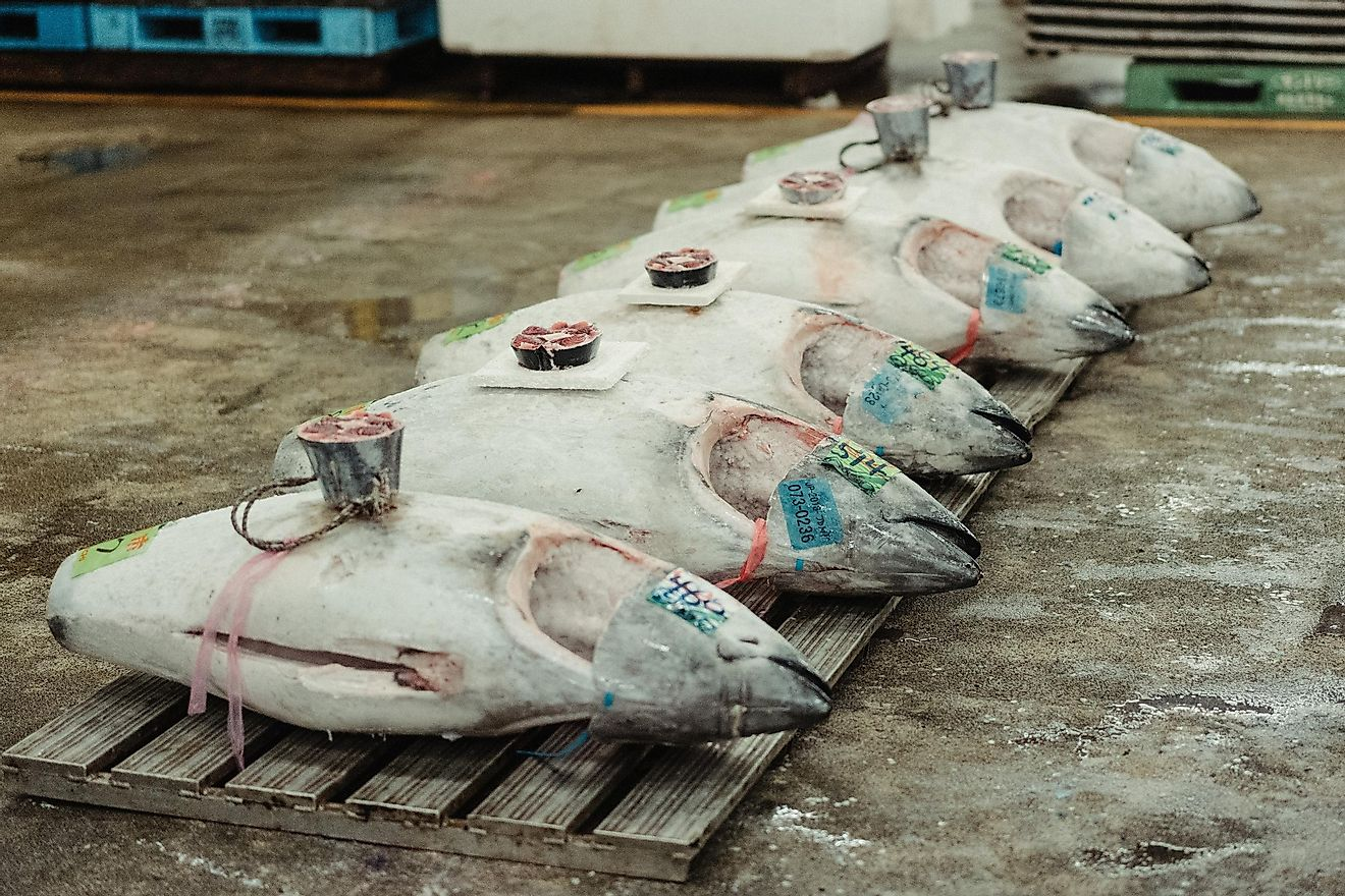 A 612-pound bluefin tuna once sold for $3 million. Photo by Peter Lam CH on Unsplash