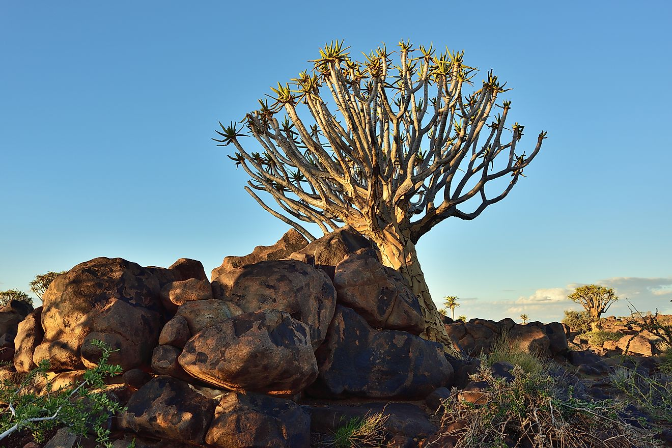 A quiver tree in Namibia. The quiver tree species of trees is endangered.