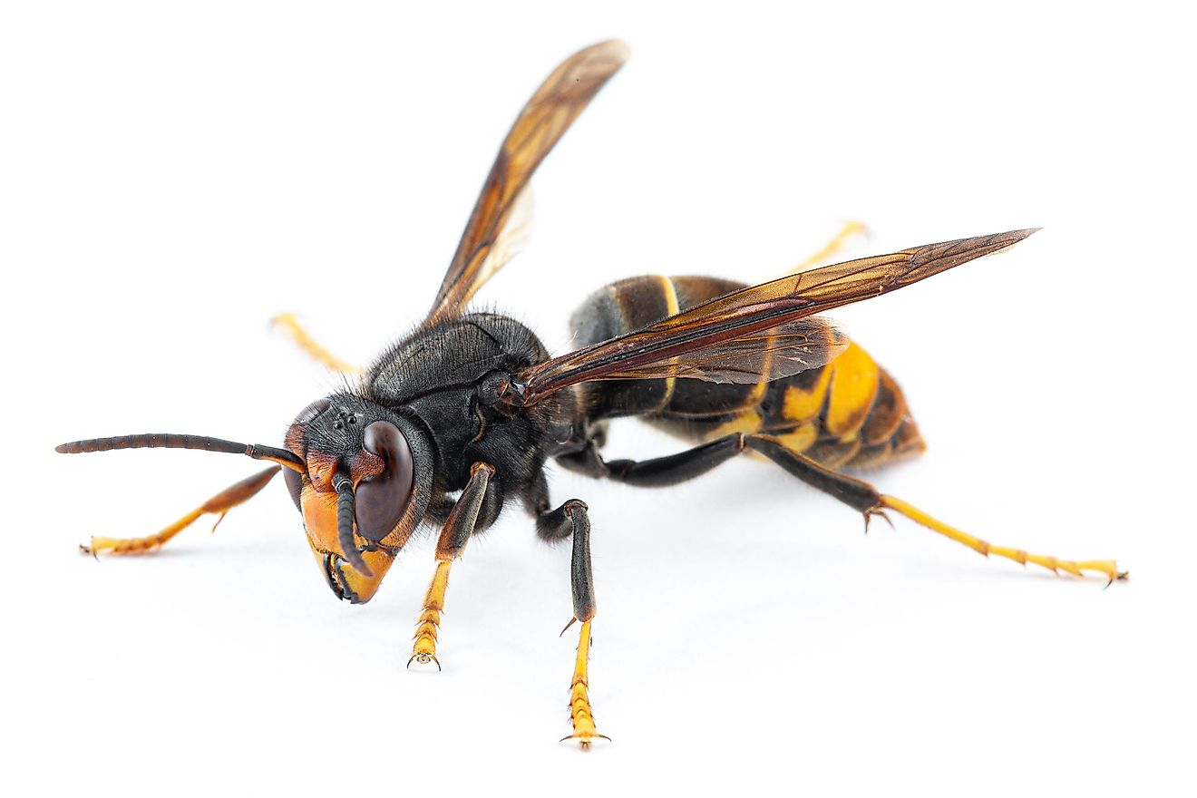 These wasps grow to about 1.2 inches in length, on average, and are the smallest of all of the wasp species mentioned in this article.