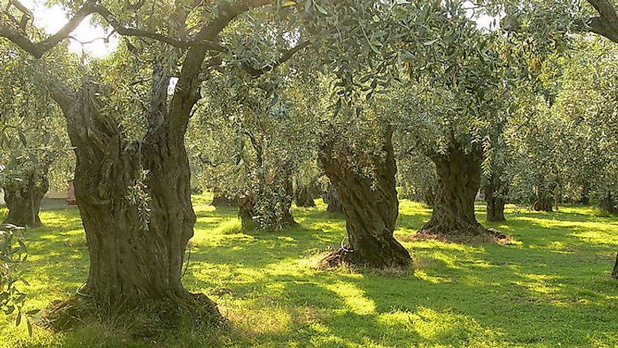 Olive trees in Greece.