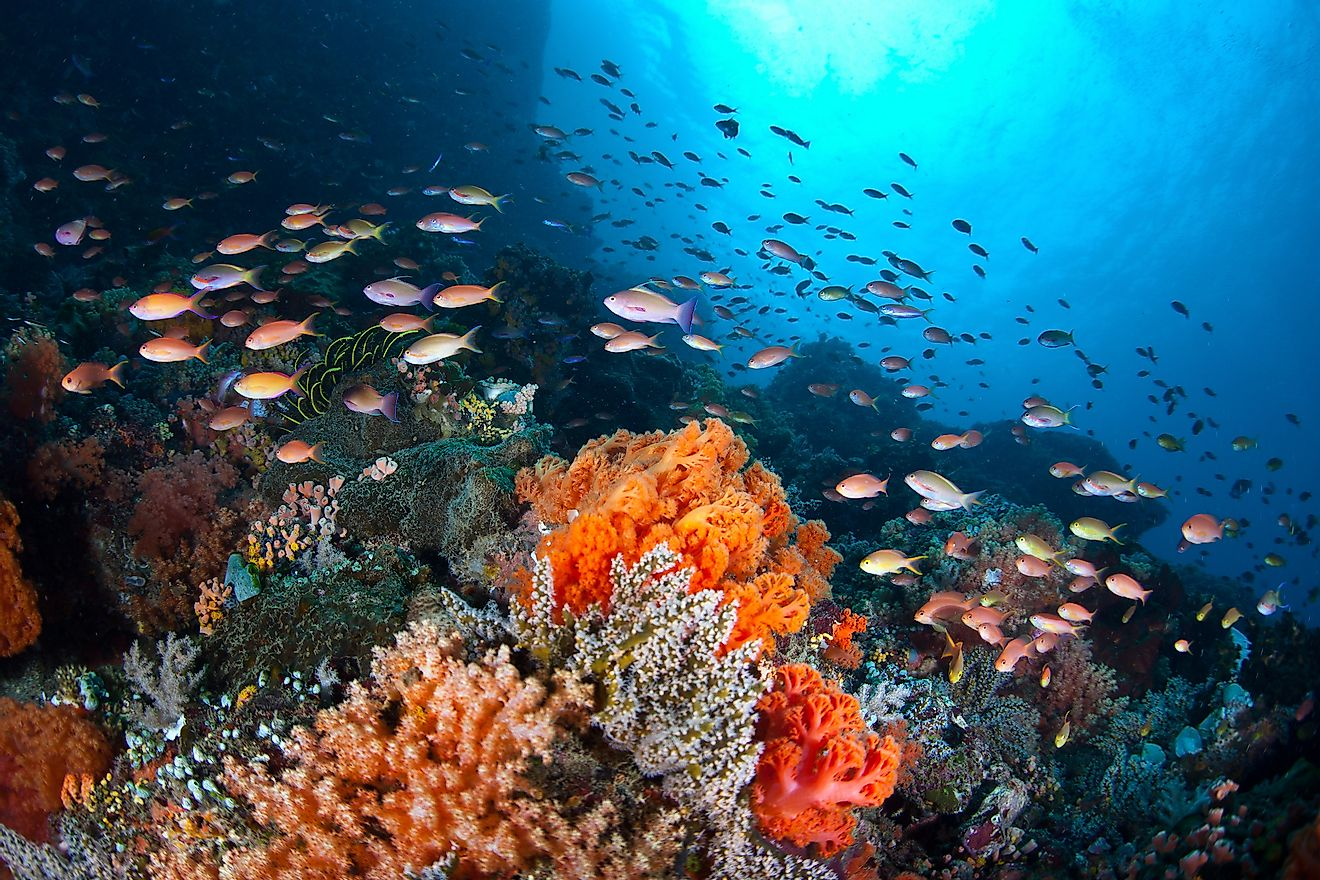 A plethora of small, colorful fish swim in a current passing over a coral reef off North Sulawesi, Indonesia.