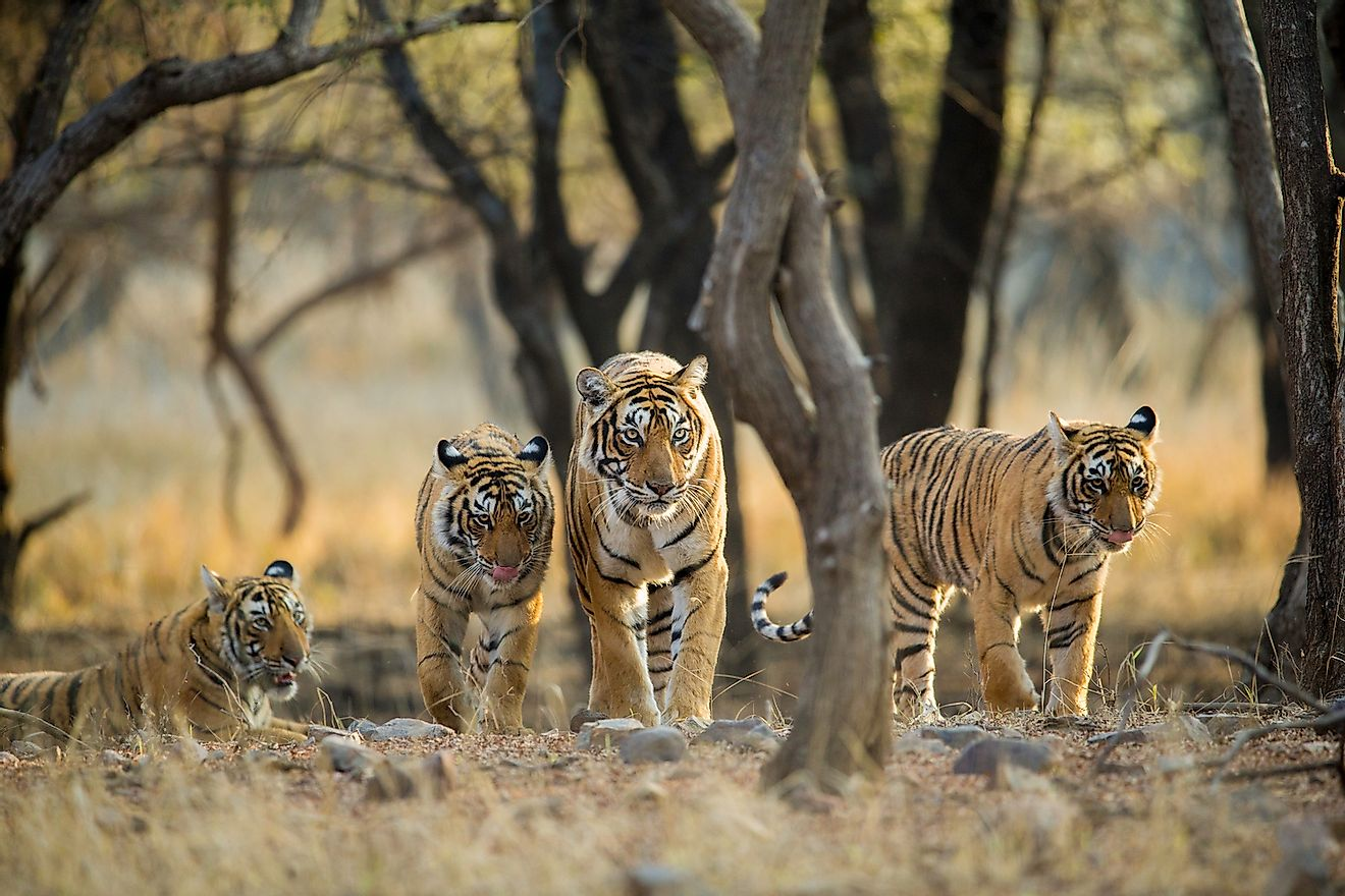 Tiger family on a stroll early morning at Ranthambhore National Park, Rajasthan, India. Image credit: Archna Singh/Shutterstock.com
