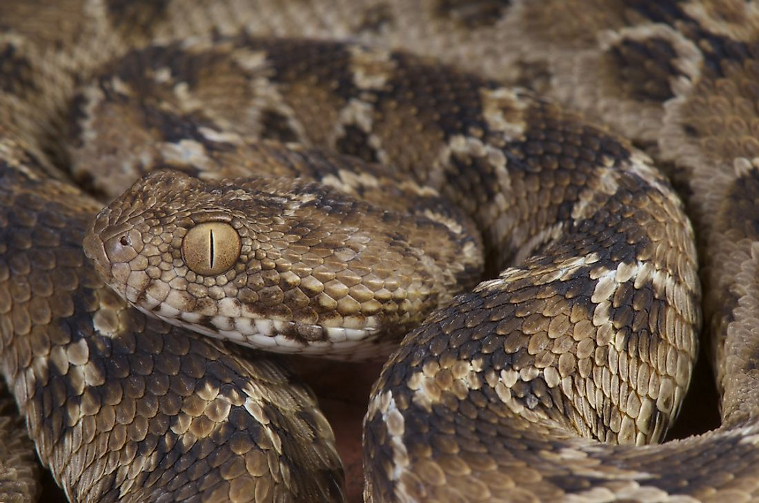The carpet viper is a venomous snake that can be found in Saudi Arabia.
