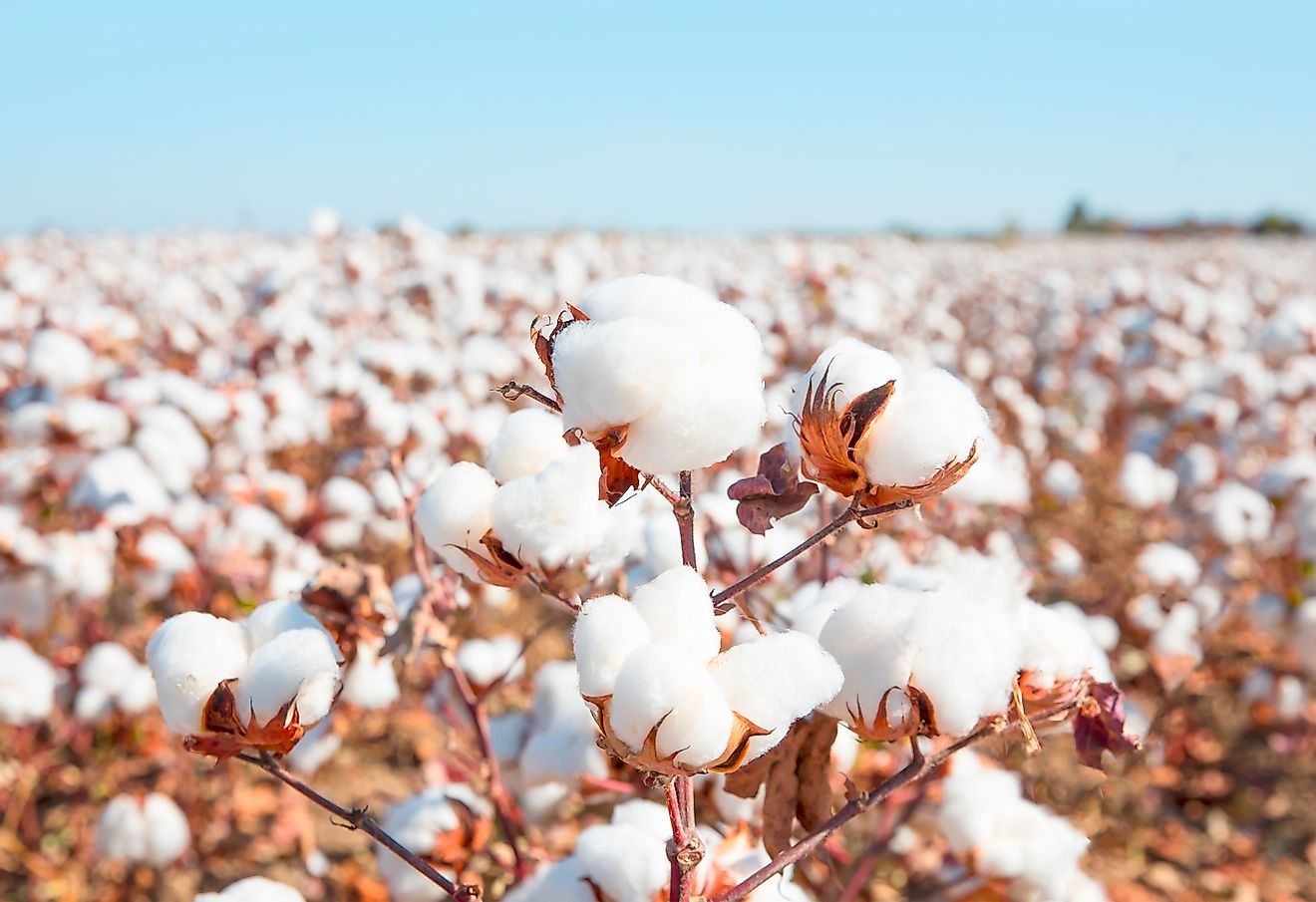 Cotton growing in a field. Image credit: Shutterstock.com