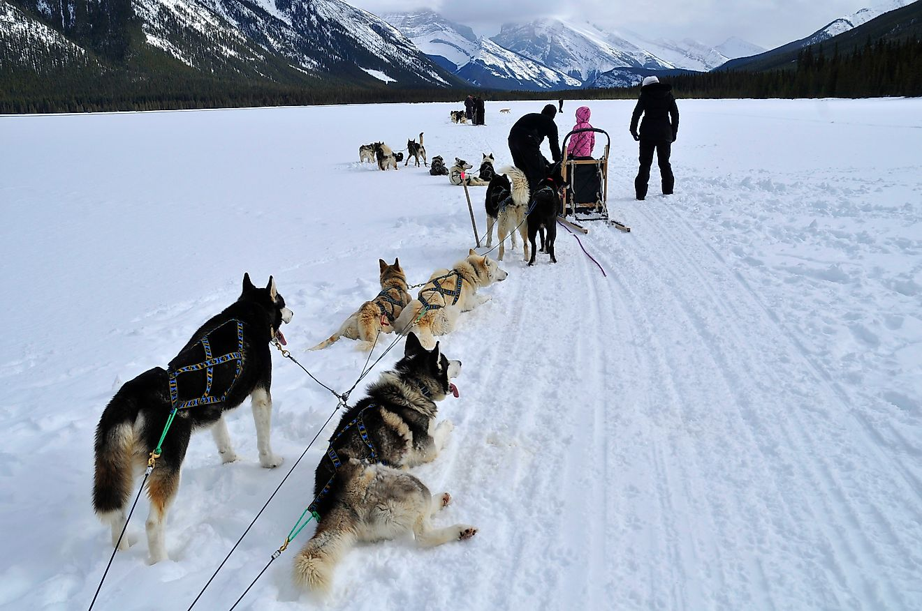 Dog sledding is a form of transportation used in the arctic region by the Inuit. Huskies are used to pull the sled and are bred to withstand freezing temperatures. Image credit: Angelito de Jesus/Shutterstock.com