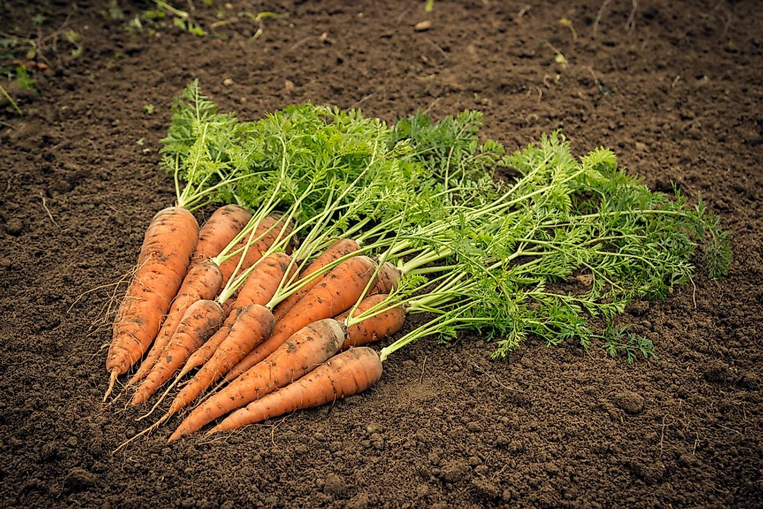 China is the runaway global leader in production of carrots and turnips. These root vegetable crops list among the world's most important farm commodities.