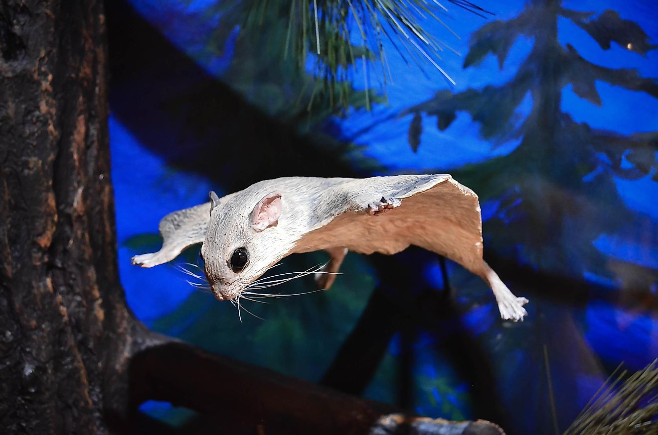 Flying squirrels are nocturnal and generally hang out in tree tops