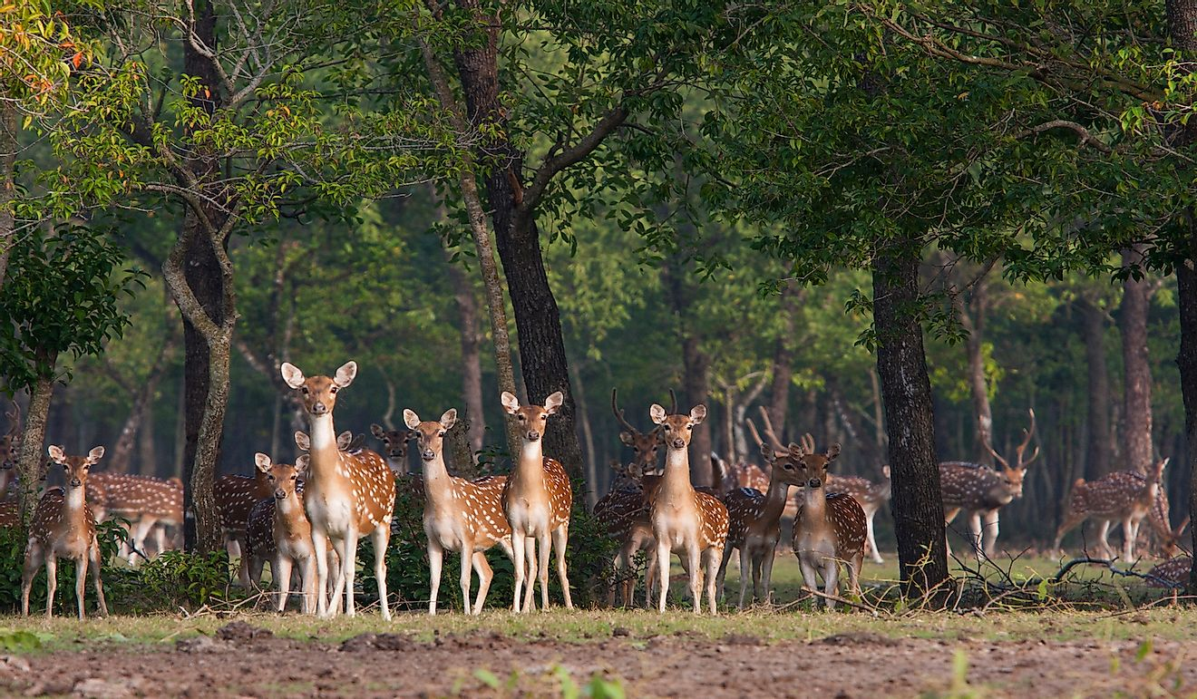 A flock of spotted deer (Axis Axis) standing and looking attentively inside Nijhum Dwip National Park at Hatia in Noakhali. Bangladesh.