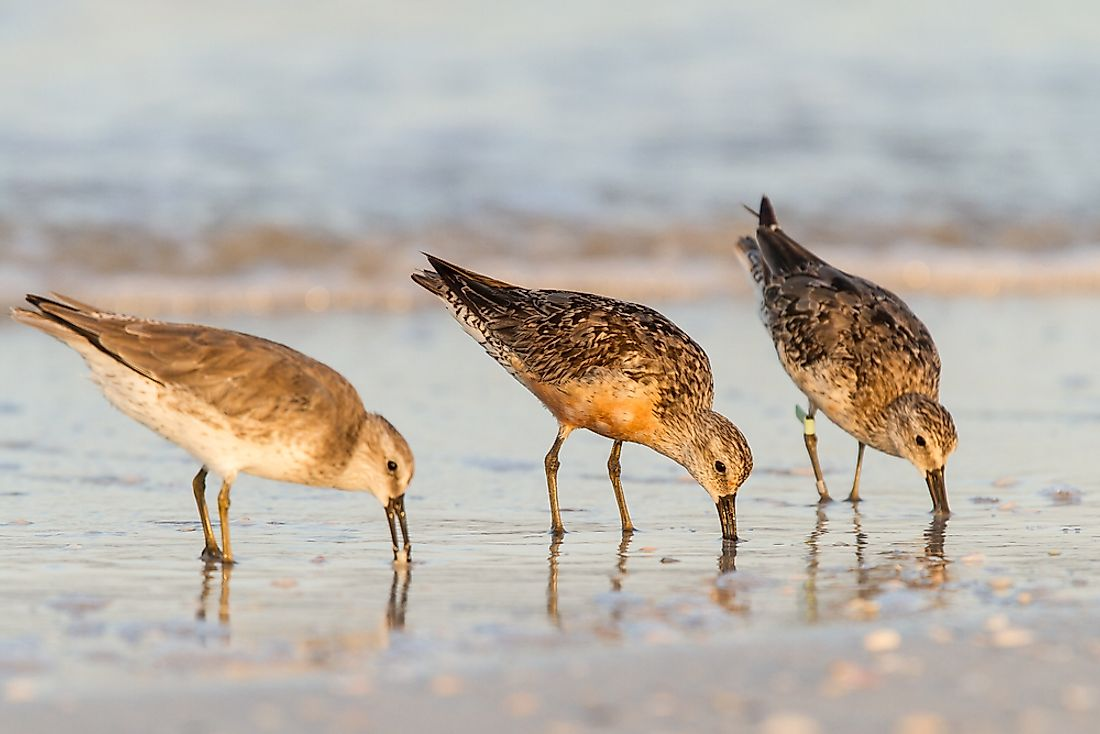 Red knots feeding on the beach.