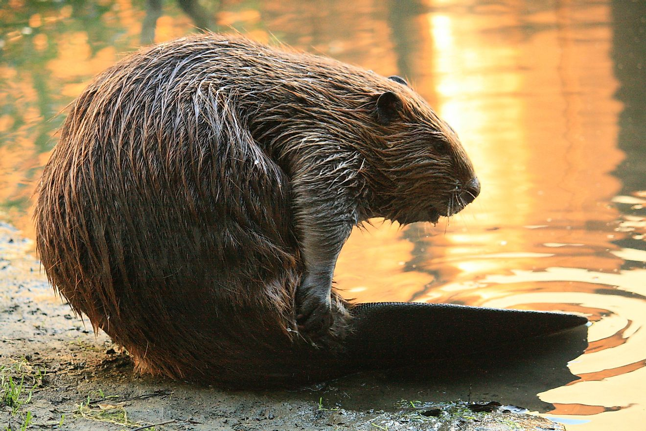 The Industrious Beaver, An Animal That Can Build Natural Dams and Transform The Landscape of A Place, is the National Animal of Canada.