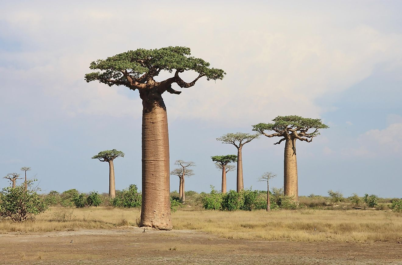 The African Baobab and the Montane African Baobab are the only two species of baobab native to mainland Africa.