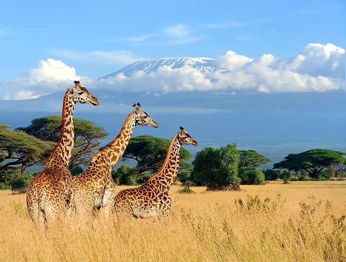 Three giraffes are seen in Kenya, with Mount Kilimanjaro in the background.