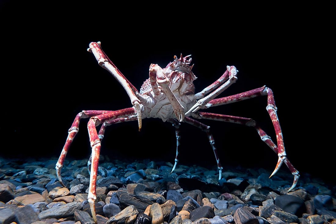 Japanese spider crabs can grow to weigh approximately 20 kilograms.