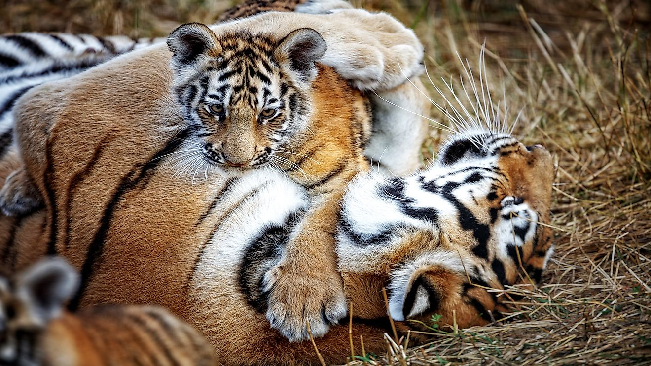Female tigers are very protective of their cubs and would go to great extents to keep them safe.