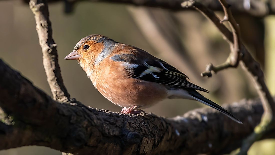 Male Chaffinch perched in a tree.