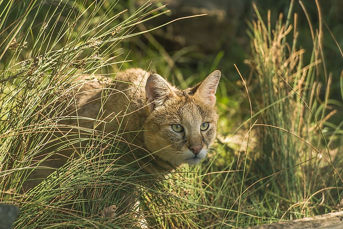 The Jungle Cat hunts small animals during the day.