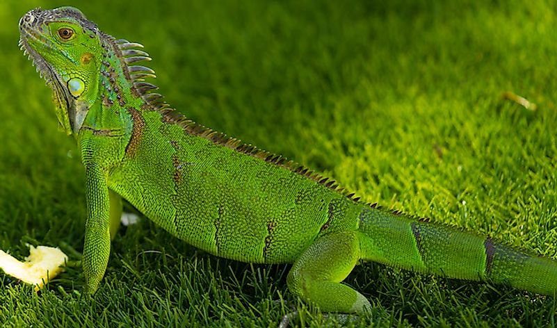 A green iguana in Florida.